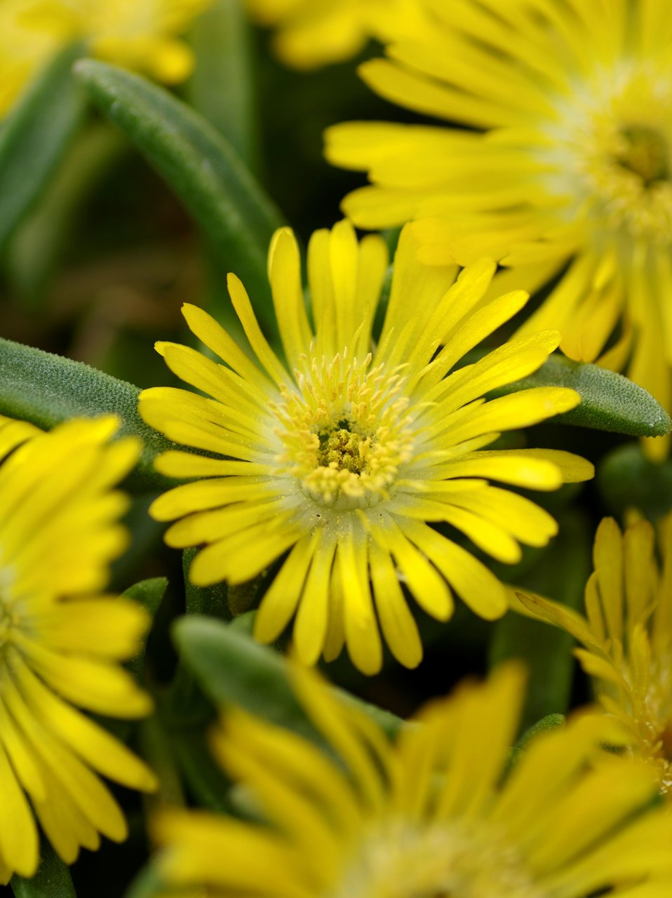 Button Up Gold Trailing Iceplant Delosperma Hybrid