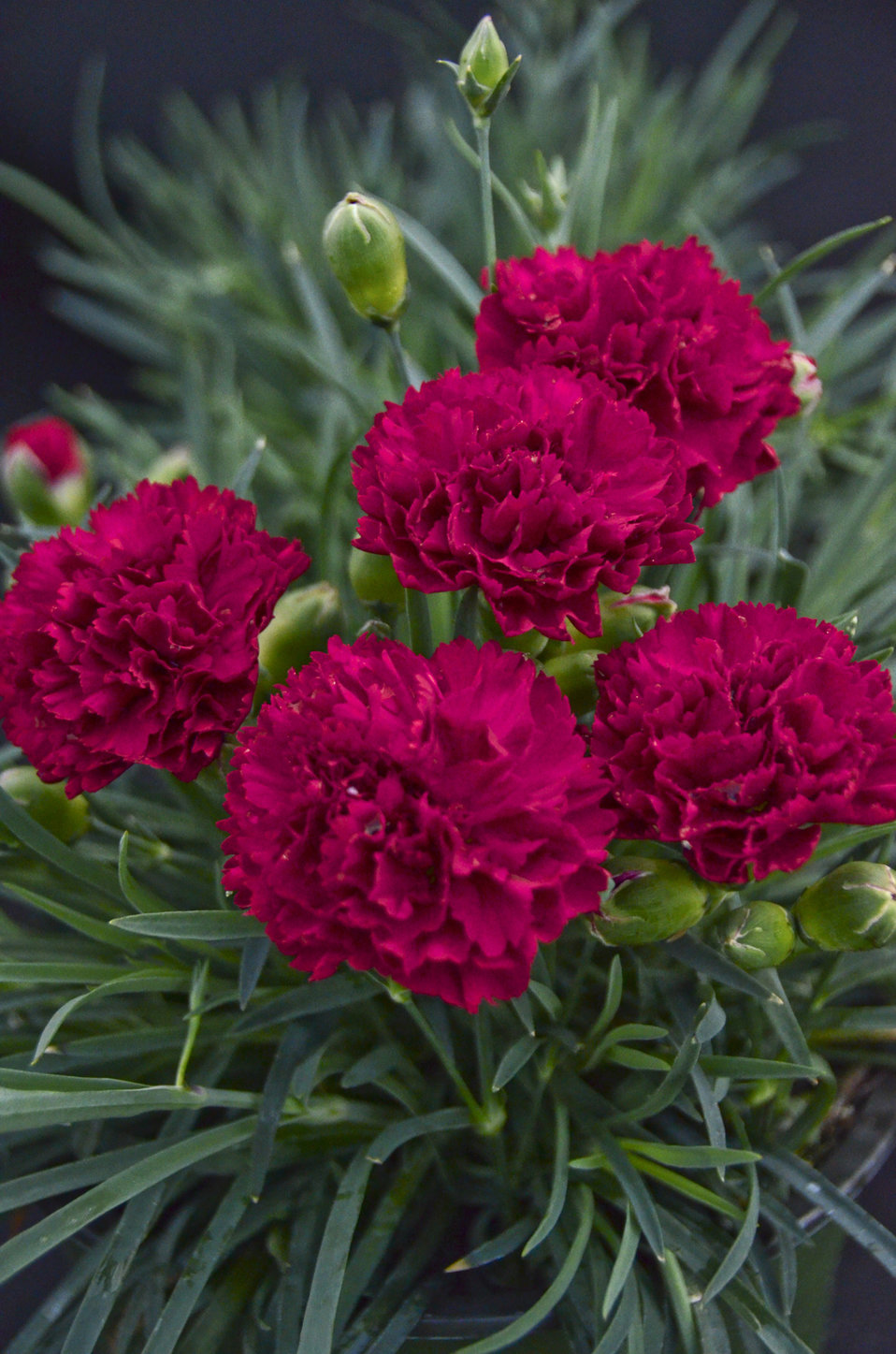 fruit punch cranberry cocktail pinks dianthus hybrid