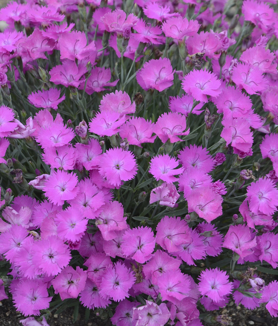 Paint the town fuchsia pinks dianthus hybrid proven winners zoom mightylinksfo Choice Image