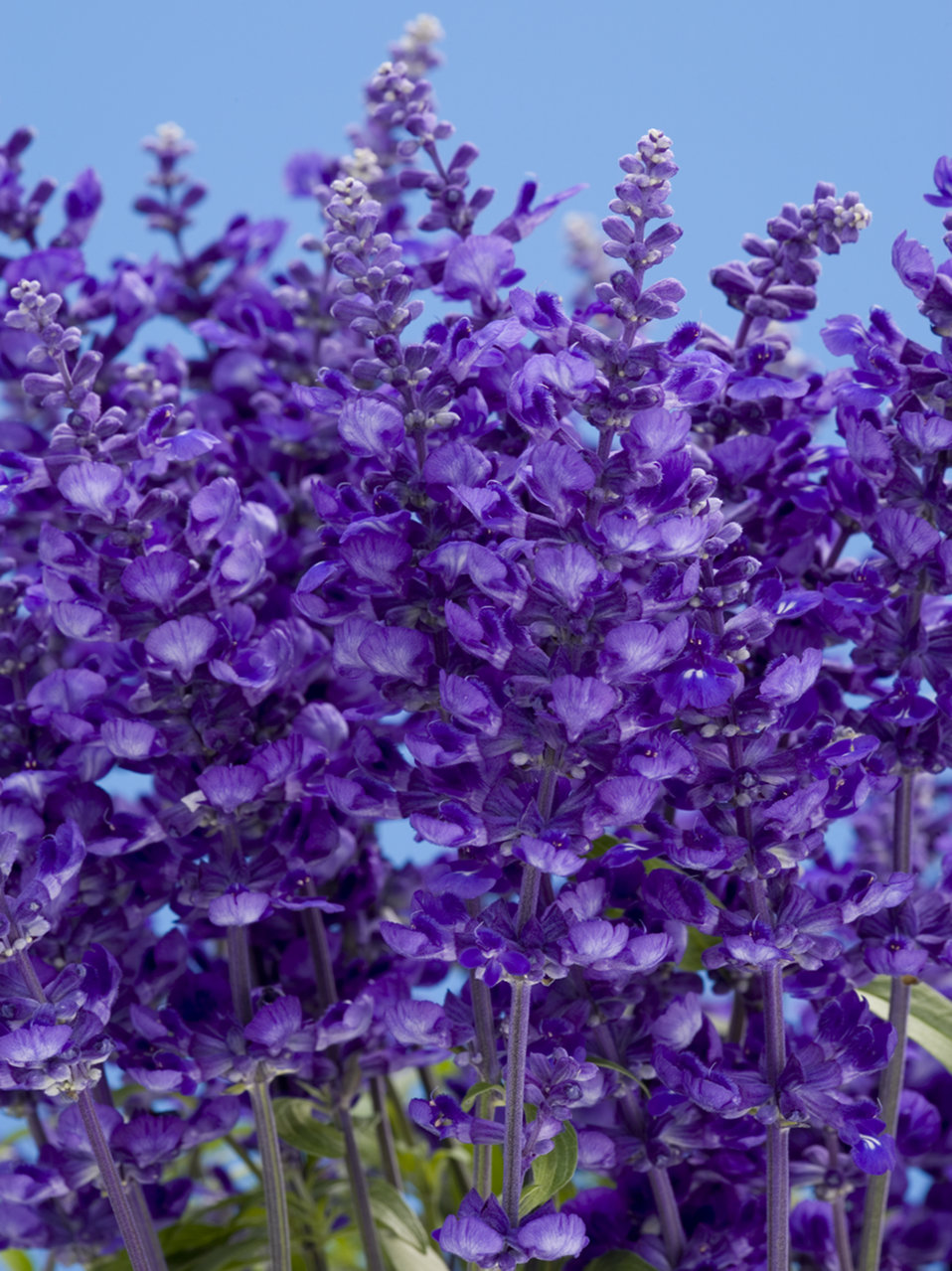 Cathedral Deep Blue Salvia Farinacea Proven Winners