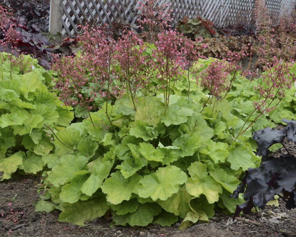 primo 39 pretty pistachio 39 coral bells heuchera hybrid. Black Bedroom Furniture Sets. Home Design Ideas
