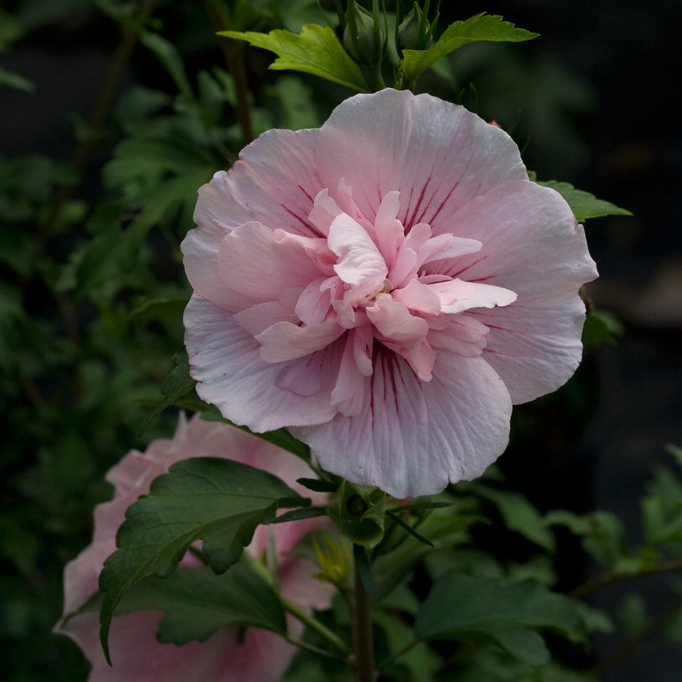 Pink Chiffon 174 Rose Of Sharon Hibiscus Syriacus