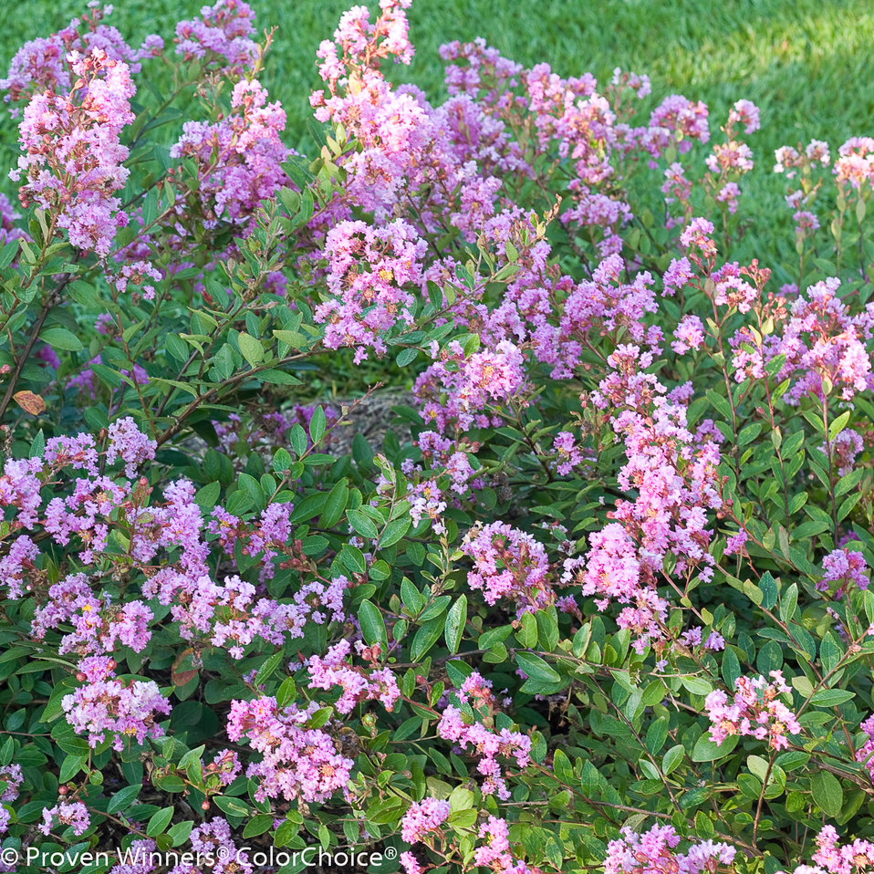Infinitini orchid crapemyrtle lagerstroemia indica proven infinitini orchid crapemyrtle lagerstroemia indica infinitini orchid crapemyrtle lagerstroemia indica nvjuhfo Choice Image