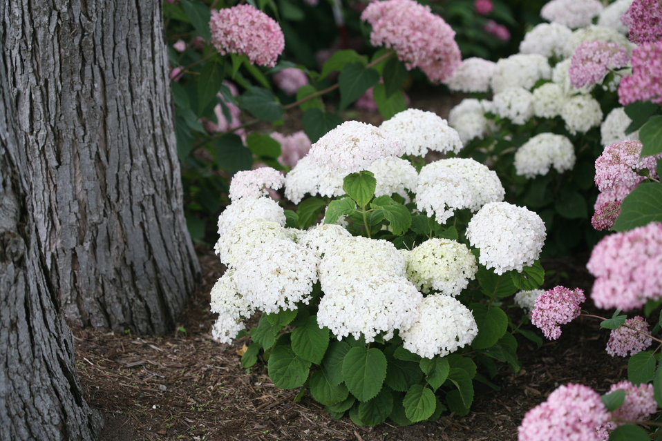 invincibelle wee white smooth hydrangea hydrangea arborescens proven winners. Black Bedroom Furniture Sets. Home Design Ideas