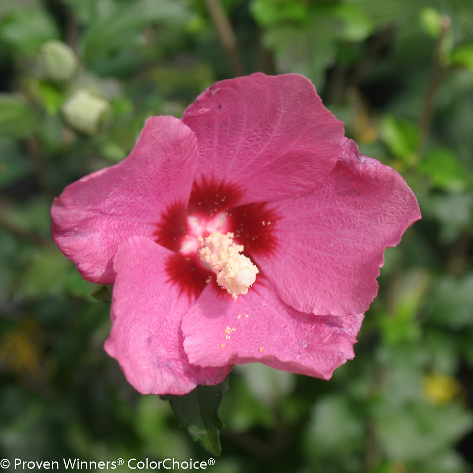 Lil kim red rose of sharon hibiscus syriacus proven winners zoom izmirmasajfo Choice Image