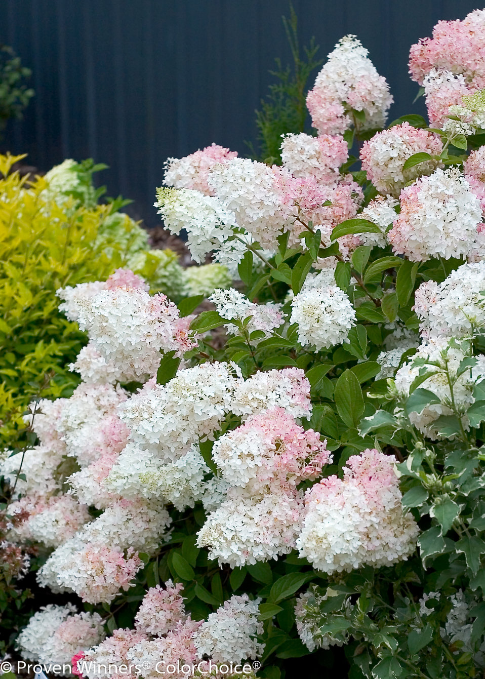little lamb'  panicle hydrangea  hydrangea paniculata  proven, Beautiful flower