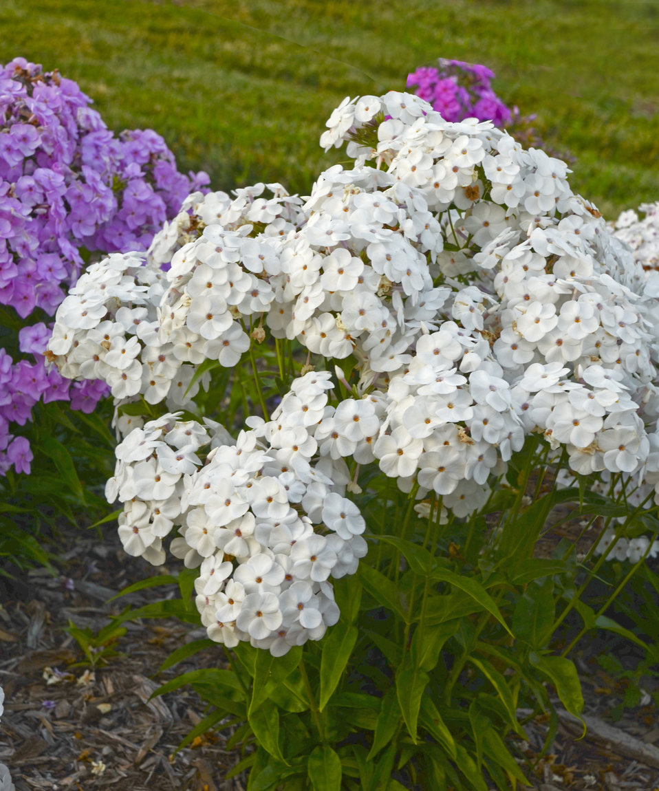 phlox dating site Such is the lot of the border phlox, usually tucked somewhere into the middle of a  border, but when the brightest varieties of phlox paniculata.
