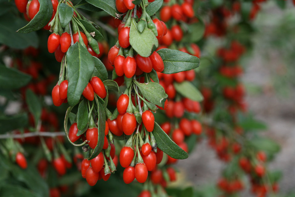 Image result for Goji Berry