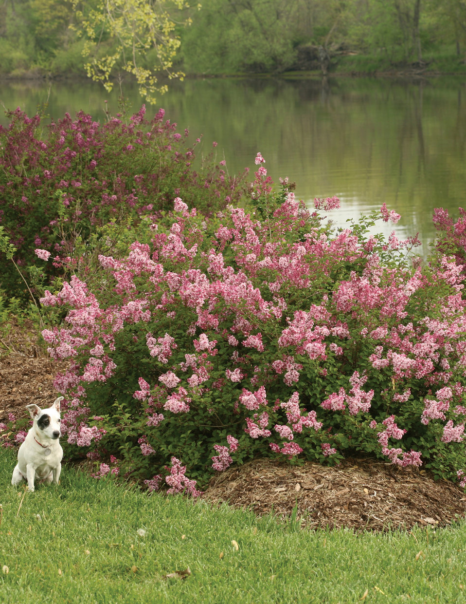 Scent and sensibility pink lilac syringa x proven winners zoom mightylinksfo Image collections