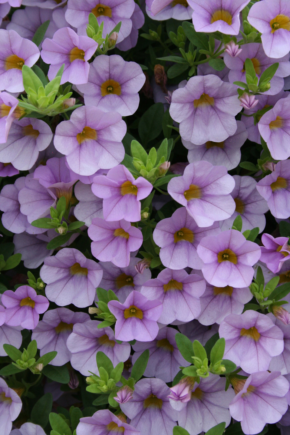 superbells miss lilac calibrachoa hybrid proven winners. Black Bedroom Furniture Sets. Home Design Ideas