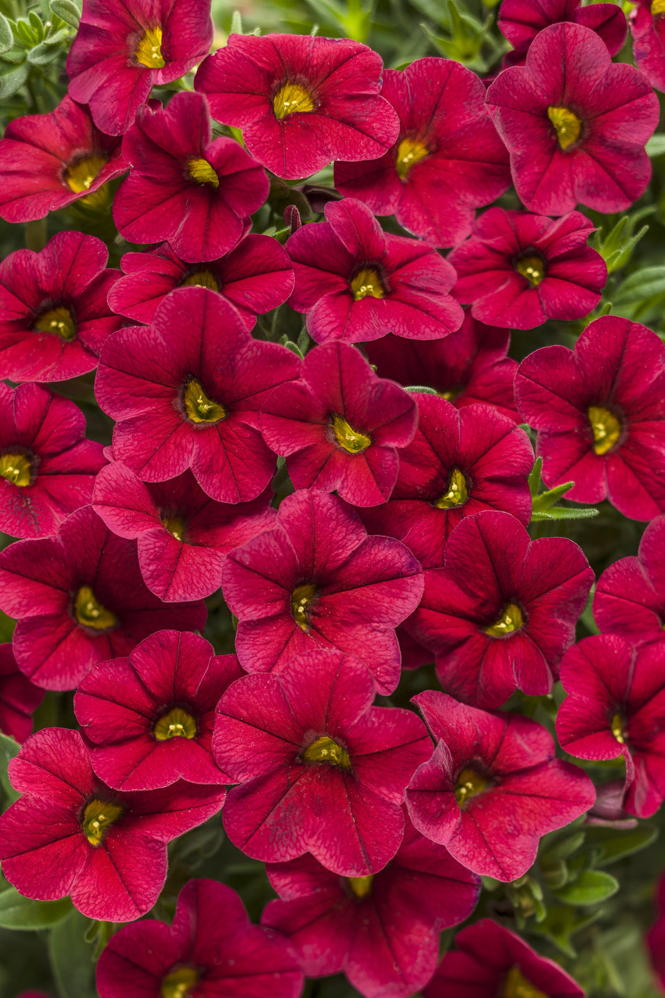 Superbells red calibrachoa hybrid proven winners - Calibrachoa superbells ...