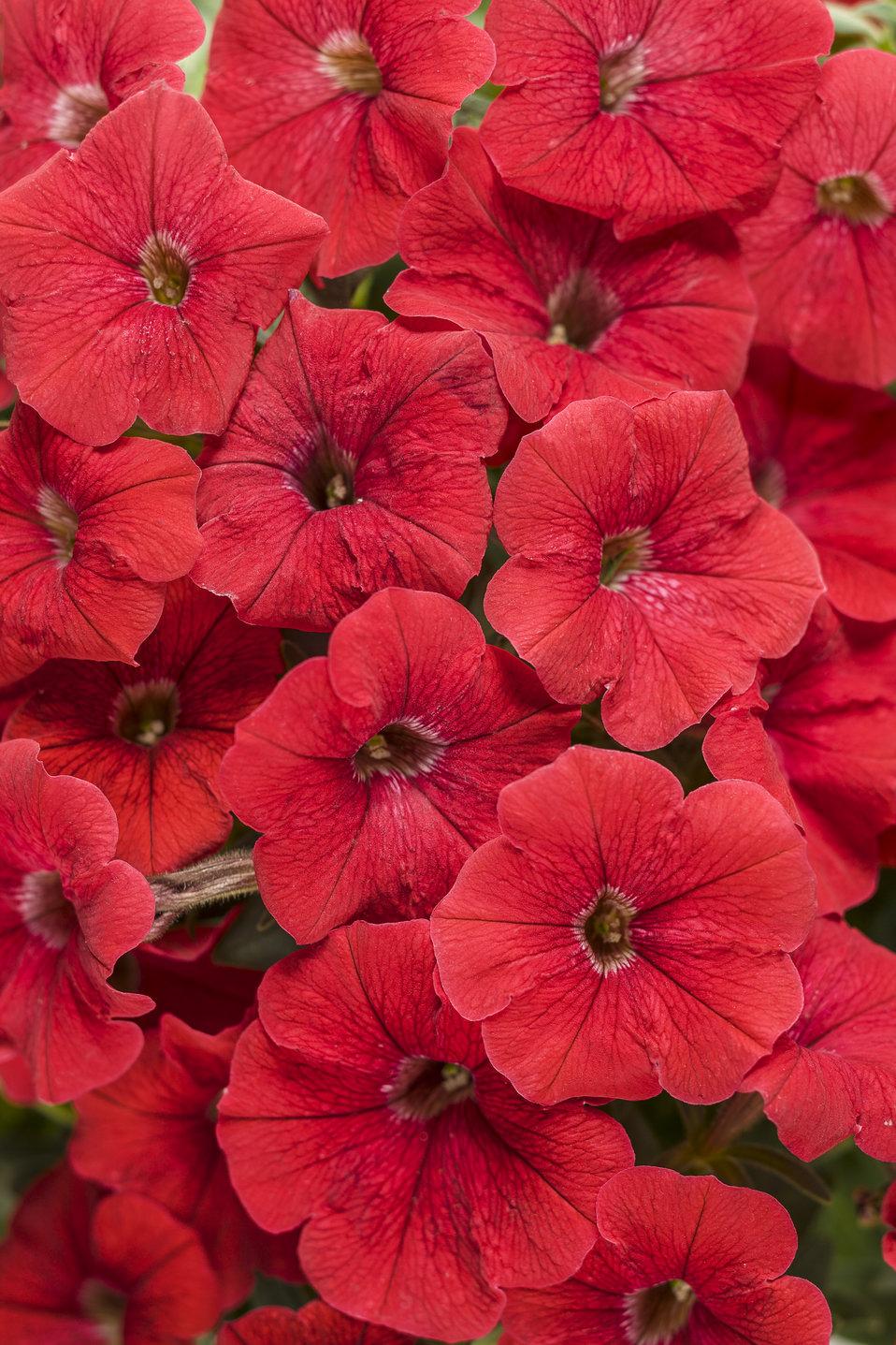 Supertunia 174 Really Red Petunia Hybrid Proven Winners