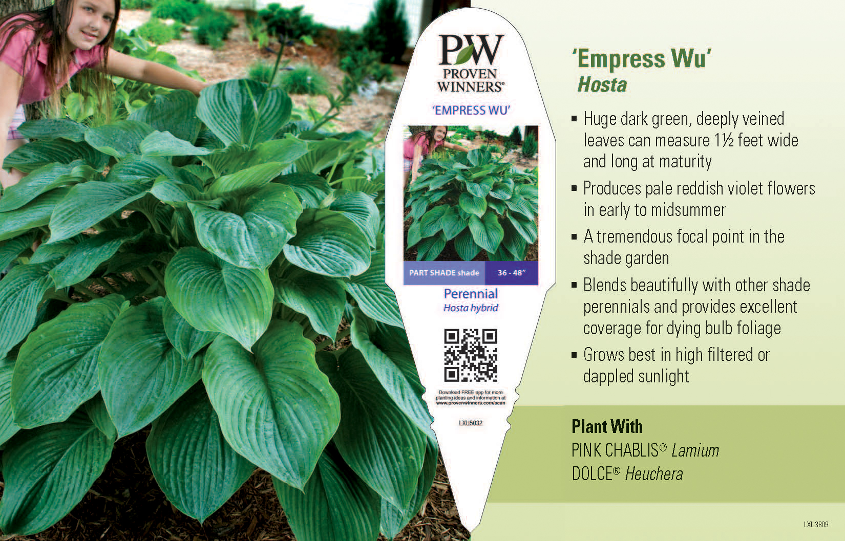 39 empress wu 39 hosta 11x7 variety benchcard proven winners. Black Bedroom Furniture Sets. Home Design Ideas