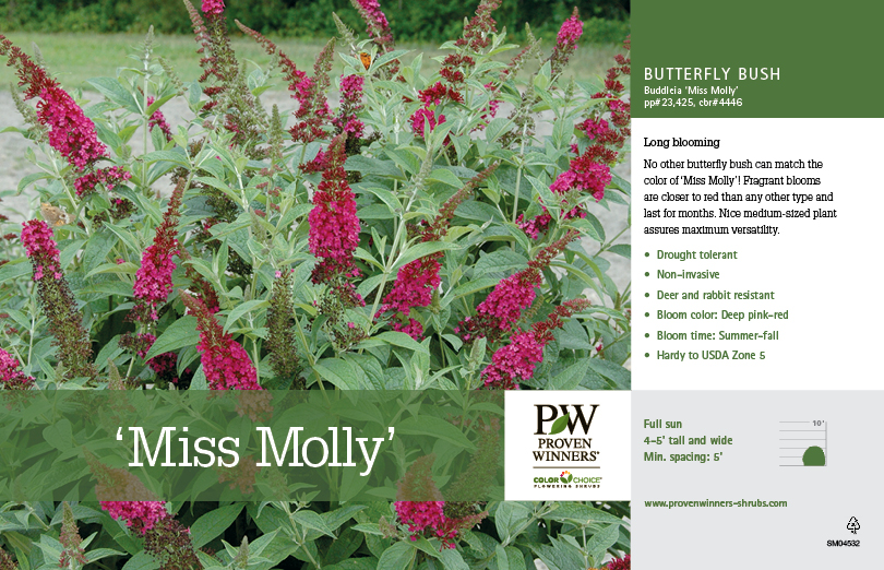 Buddleia Miss Molly Butterfly Bush 11x7 Quot Variety