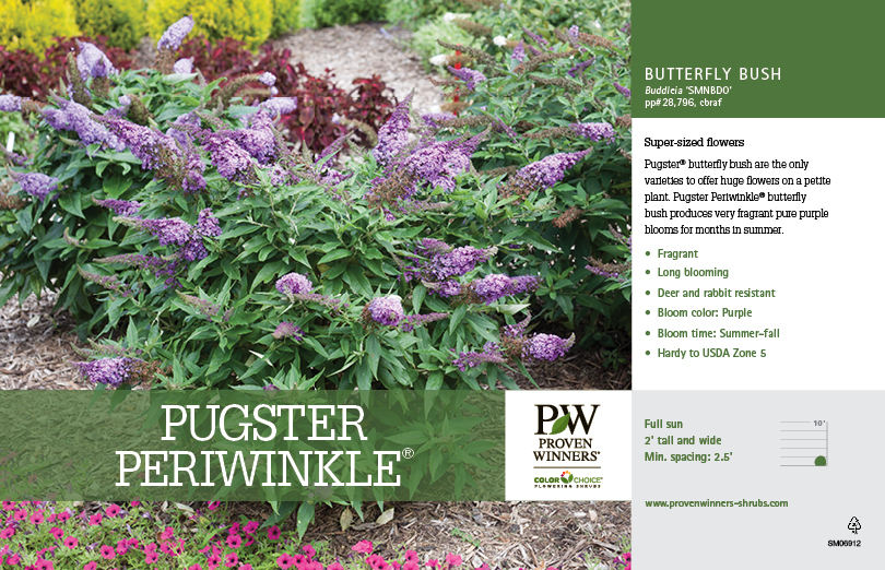 Buddleia Pugster Periwinkle 174 Butterfly Bush 11x7