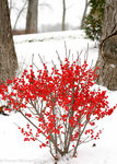 Berry Poppins Ilex verticillata winterberry holly