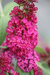 Buddleia 'Miss Molly' (butterfly bush)