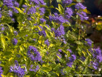 Sunshine Blue II Improved Caryopteris