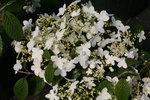 Wabi-Sabi Viburnum plicatum tomentosum