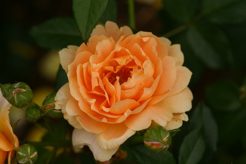 At Last™ Fragrant Rose