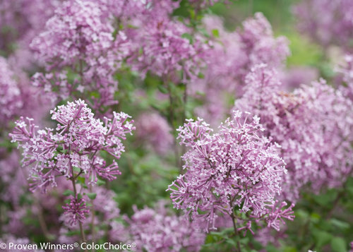 Bloomerang Purple Syringa (lilac)