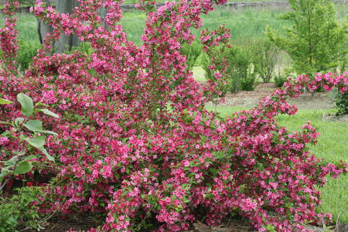 Spring bloom for Sonic Bloom Pink Weigela